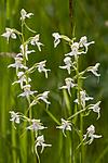 KA_120628_2641 / Platanthera montana / Grov nattfiol