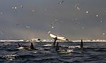 KA_130204_0359 / Megaptera novaeangliae / Knølhval <br /> Orcinus orca / Spekkhogger