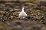 KA_140608_1867 / Lagopus muta hyperborea / Svalbardrype