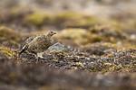 KA_140608_1869 / Lagopus muta hyperborea / Svalbardrype