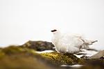 KA_140608_1876 / Lagopus muta hyperborea / Svalbardrype