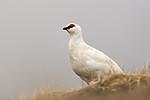 KA_140608_1883 / Lagopus muta hyperborea / Svalbardrype