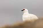 KA_140608_1887 / Lagopus muta hyperborea / Svalbardrype
