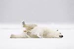 KA_140614_4683 / Ursus maritimus / Isbjørn