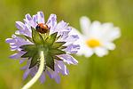 KA_140702_1243 / Coccinella quinquepunctata / Fem-prikket marihøne <br /> Knautia arvensis / Rødknapp