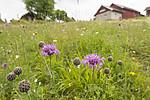 KA_140706_6075 / Centaurea scabiosa / Fagerknoppurt