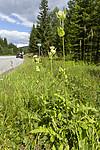 KA_140716_3 / Cirsium oleraceum / Kåltistel