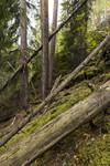 KA_140907_1 / Pinus sylvestris / Furu