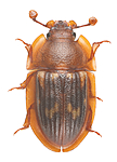 KA_150423_marginata_dorsal / Amphotis marginata