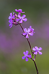 KA_150607_2 / Viscaria vulgaris / Engtjæreblom