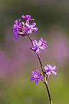 KA_150607_3 / Viscaria vulgaris / Engtjæreblom