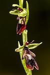 KA_150616_5 / Ophrys insectifera / Flueblom