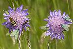 KA_150630_31 / Adscita statices / Grønn metallsvermer <br /> Knautia arvensis / Rødknapp <br /> Stenurella melanura <br /> Trichius fasciatus / Humlebille