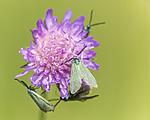 KA_150630_49 / Adscita statices / Grønn metallsvermer <br /> Knautia arvensis / Rødknapp
