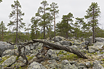 KA_150708_20 / Pinus sylvestris / Furu