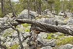 KA_150708_30 / Pinus sylvestris / Furu