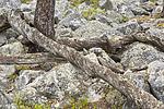 KA_150708_60 / Pinus sylvestris / Furu