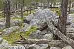 KA_150708_62 / Pinus sylvestris / Furu