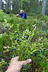 KA_150816_7 / Vaccinium myrtillus / Blåbær