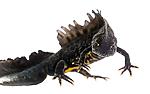 KA_160501_16 / Triturus cristatus / Storsalamander
