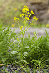 KA_160521_38 / Barbarea vulgaris / Vinterkarse