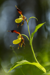 KA_160604_16 / Cypripedium calceolus / Marisko