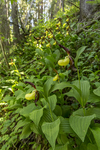 KA_160604_88 / Cypripedium calceolus / Marisko