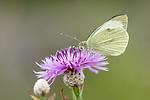 KA_160722_101 / Centaurea jacea / Engknoppurt <br /> Pieris brassicae / Stor kålsommerfugl