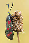 KA_170724_2 / Plantago lanceolata / Smalkjempe <br /> Zygaena filipendulae / Seksflekket bloddråpesvermer