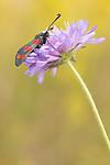 KA_170724_49 / Knautia arvensis / Rødknapp <br /> Zygaena filipendulae / Seksflekket bloddråpesvermer