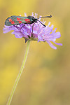 KA_170724_54 / Knautia arvensis / Rødknapp <br /> Zygaena filipendulae / Seksflekket bloddråpesvermer