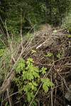 KA_170908_19 / Impatiens parviflora / Mongolspringfrø