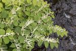 KA_170908_6 / Reynoutria japonica / Parkslirekne