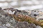 KA_170924_332 / Lagopus muta / Fjellrype