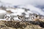 KA_170924_352 / Lagopus muta / Fjellrype