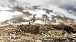 KA_170924_355 / Lagopus muta / Fjellrype