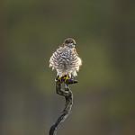KA_171014_53 / Accipiter nisus / Spurvehauk