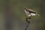KA_171014_56 / Accipiter nisus / Spurvehauk