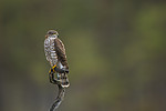 KA_171014_60 / Accipiter nisus / Spurvehauk