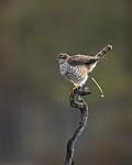 KA_171014_96 / Accipiter nisus / Spurvehauk