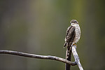 KA_171015_10 / Accipiter nisus / Spurvehauk