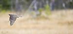 KA_171015_145 / Accipiter nisus / Spurvehauk