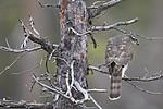 KA_171015_200 / Accipiter nisus / Spurvehauk