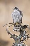 KA_171015_308 / Accipiter nisus / Spurvehauk