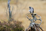 KA_171015_312 / Accipiter nisus / Spurvehauk