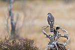 KA_171015_45 / Accipiter nisus / Spurvehauk