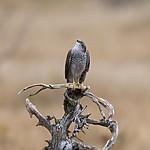 KA_171015_80 / Accipiter nisus / Spurvehauk