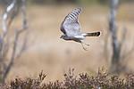 KA_171015_88 / Accipiter nisus / Spurvehauk