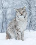KA_171230_120 / Lynx lynx / Gaupe