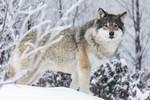 KA_171230_3 / Canis lupus / Ulv